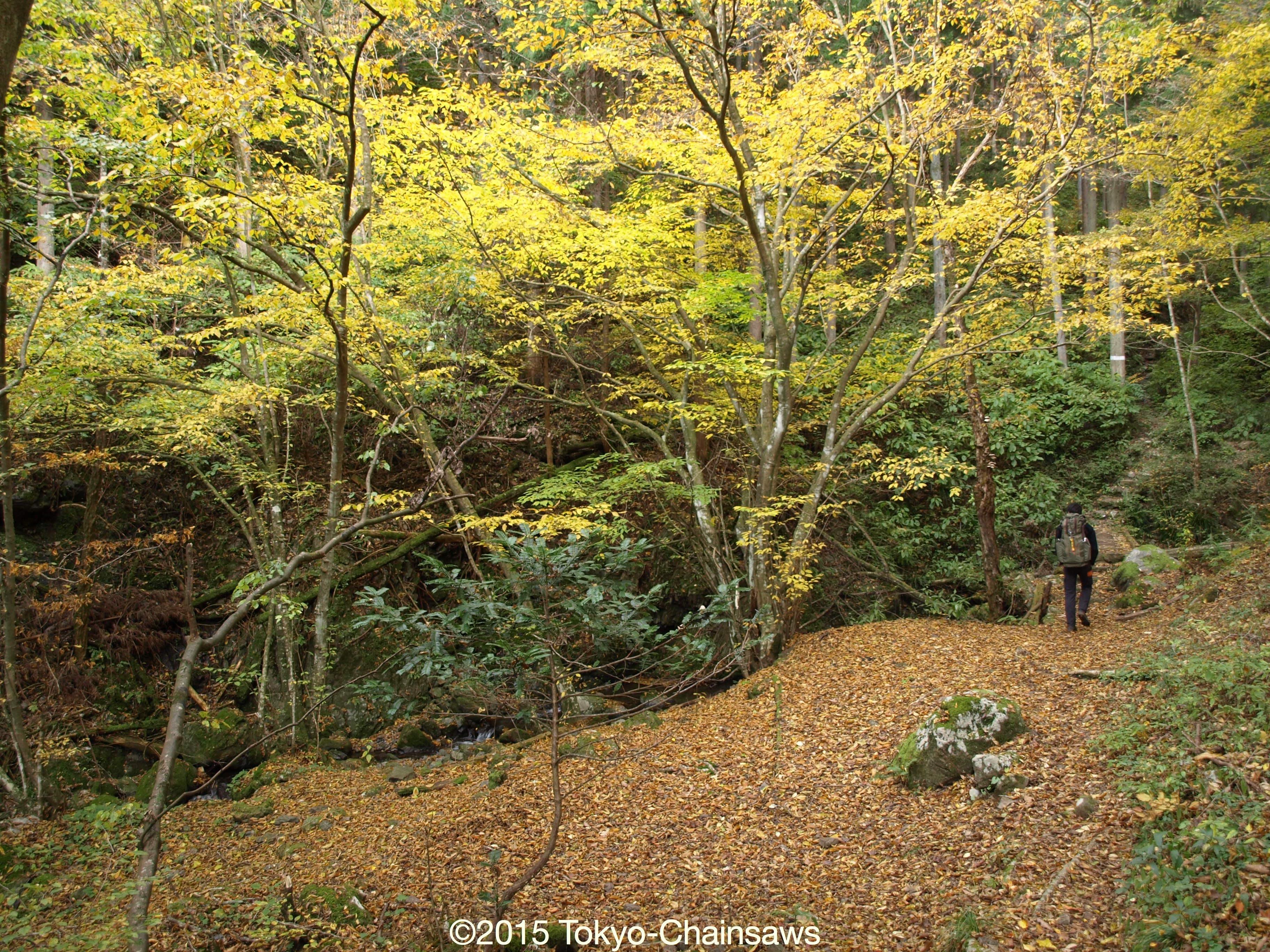 紅葉、落ち葉の通勤路(11月15日)