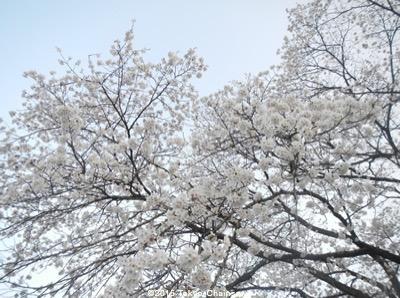 さくら(3月28日)