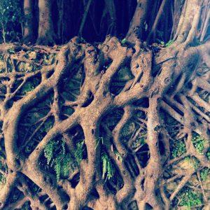 石段に張り巡らされるガジュマルの根