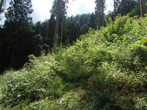 社有林 下刈り作業前