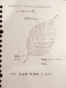 ヤマザクラ Cerasus  jamasakura〜多摩川はまだつづく